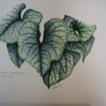 Brunnera Macrophylla - Jack Frost