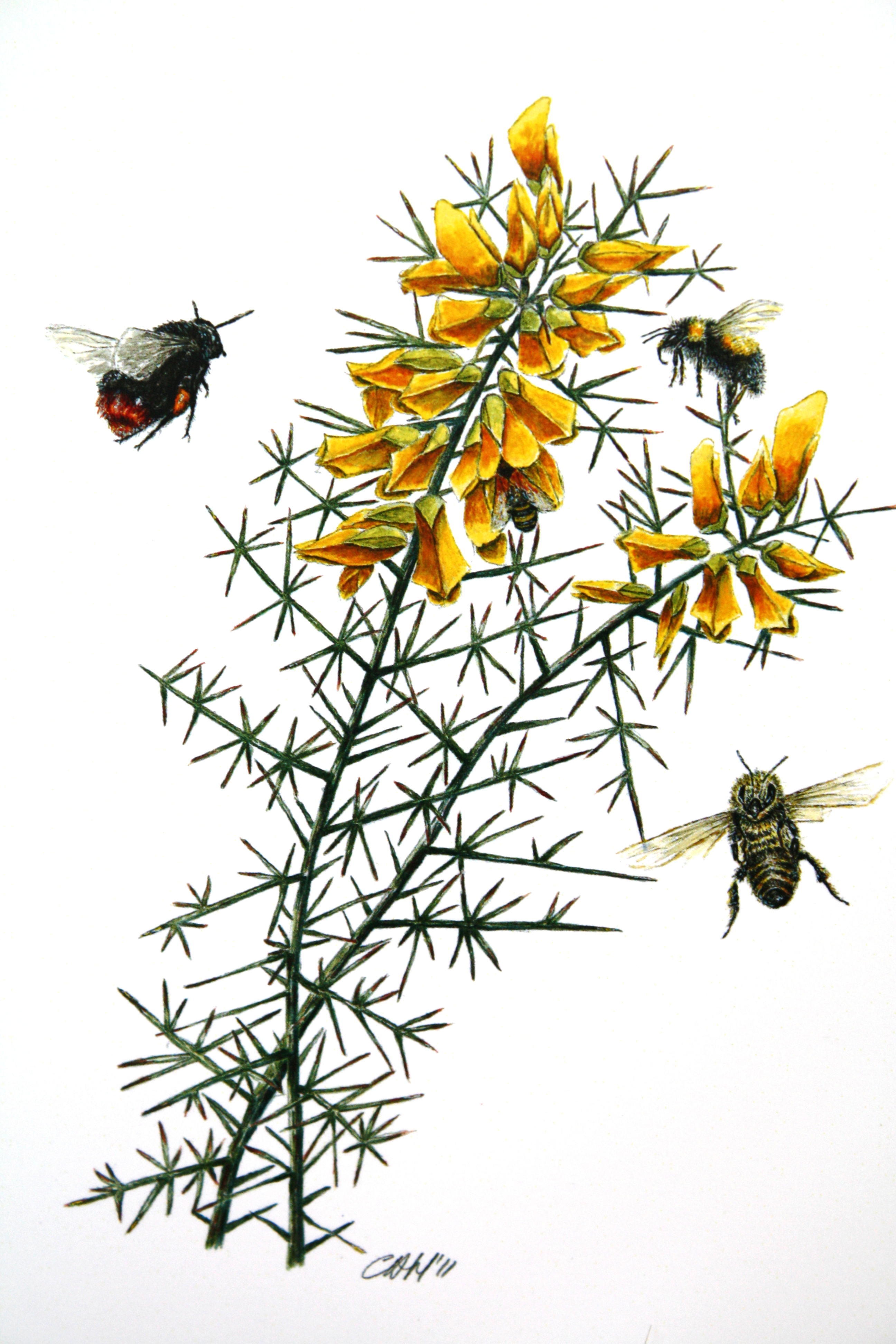 british bee paintings cath hodsman british wildlife and natural