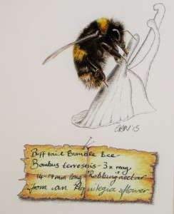 "Buff Tail Bumble Bee (Bombus terrestris) ""Robbing"" nectar from an aquilegia flower. W/C and coloured pencil. 16"" x20"", framed. £220.00, plus p&p. Mounted print, £35.00, plus p&p. Unmounted print, £25.00, plus p&p. To order use the PayPal option on the Home Page, email on cathhodsman@talktalk.net, or ring on 01453 884359"