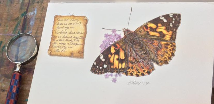 Intricate watercolour and ink paintings of one of the worlds most well traveled and successful butterflies - The Painted Lady Vanessa cardui). It is found on every continent on Earth, apart for Australia and the Antartic. Original-Sold. Limited edition mounted print, £35.00, plus p&p, Unmounted print £25.00, plus p&p. To order use the PayPal option the Home Page, email on the email on the contacts page or ring on 01453 884359.