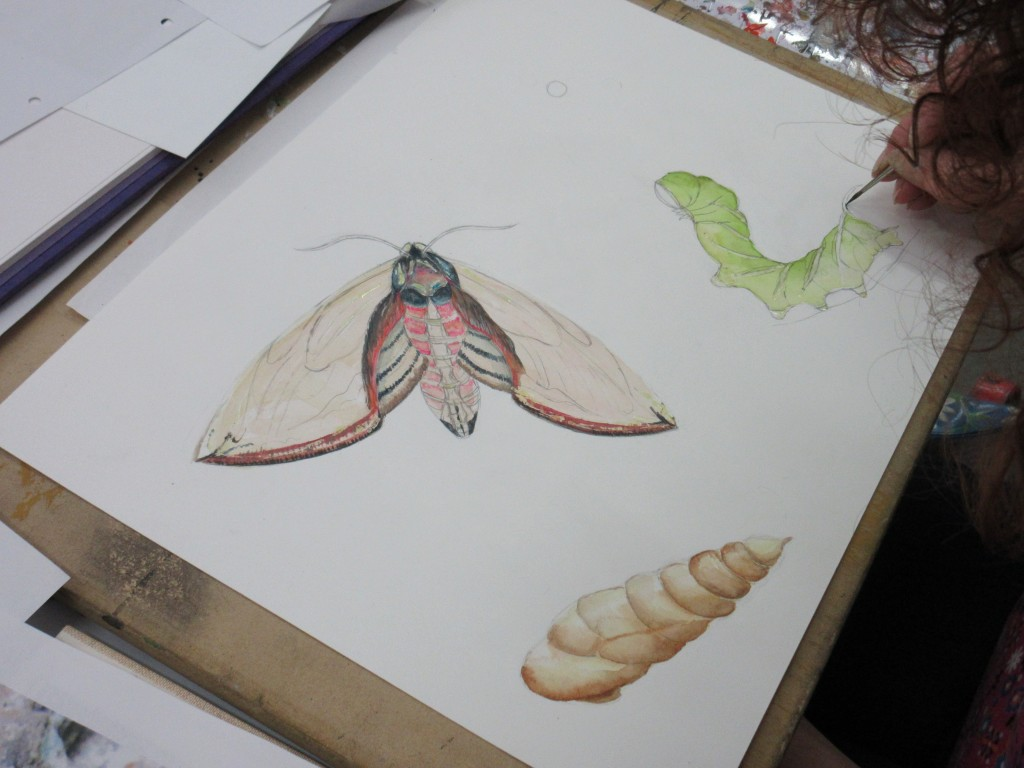 Jane's fab Privet Hawk Moth Sphinx ligustri life-cycle painting getting under-way