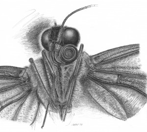 Pencil & graphite microscopy study study of a swallowtail b'fly - post mortem.